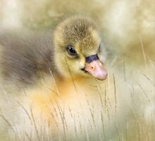 Golden gosling by Lyn Evans
