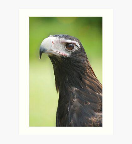 Hawk eye - wedge tail eagle Art Print