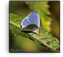 Holly Blue ( Ceelestrina argolus) (II) Canvas Print
