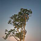 Eucalypt by Kym Howard