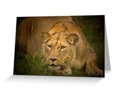 Lioness stalking prey Greeting Card