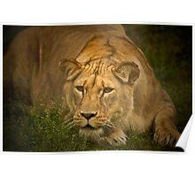 Lioness stalking prey Poster