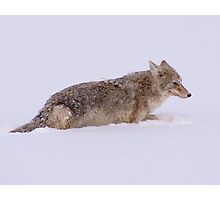 Coyote by the River Photographic Print