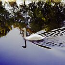 White Swan in colour image. by Streetpages