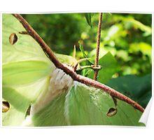 Luna Moth Closeup Poster