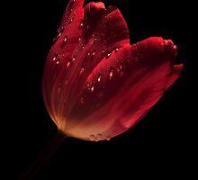 TULIP TEARS by RoseMarie747