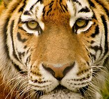 All In The Eye's Of A Tiger' by jdmphotography