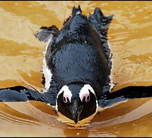 Penguin Breast Stroke by Paul  McIntyre