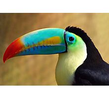 Sulfur-Breasted Toucan - (Ramphastos sulfuratus) Photographic Print