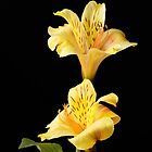 Yellow Peruvian Lilies by Sheryl Kasper