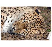 A Shy Looking Amur Leopard Poster
