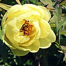 Yellow Tree Peony by naturelover