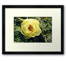 Yellow Tree Peony Framed Print