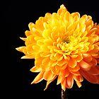 Orange Petals by Sheryl Kasper