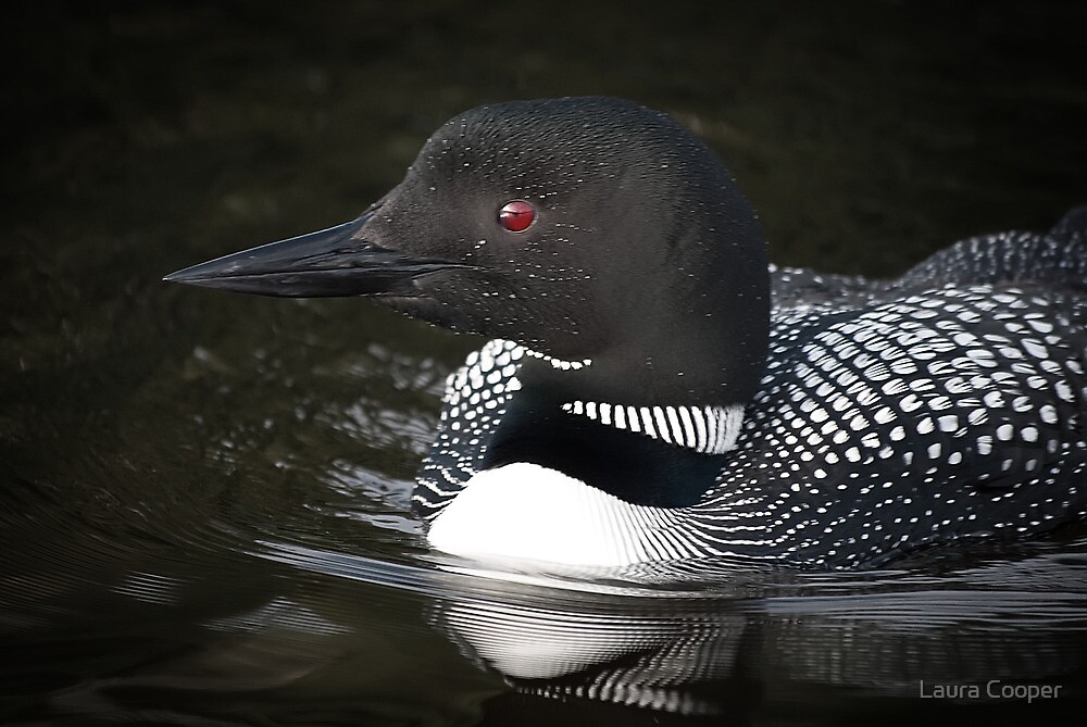 Algonquin Park Loon by Laura Cooper