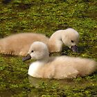 Soft &amp; Fluffy Cygnets by Jo Nijenhuis