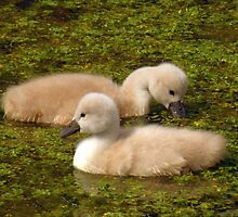 Soft & Fluffy Cygnets by Jo Nijenhuis