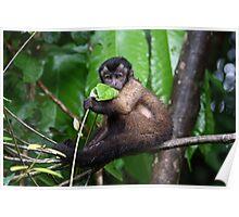 Cute Capuchin Poster