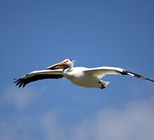 Female American White Pelican by Alyce Taylor