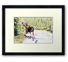 Bull Moose Munching in The Road Framed Print