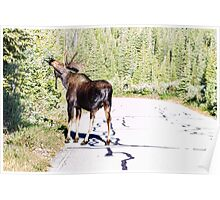 Bull Moose Munching in The Road Poster