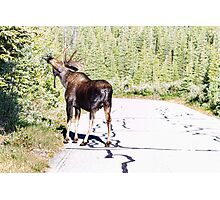 Bull Moose Munching in The Road Photographic Print
