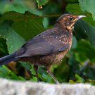 Young Blackbird........Dorset UK by lynn carter