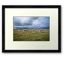 White Cows Framed Print