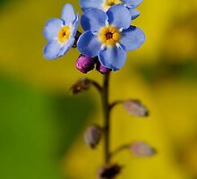 Forget-Me-Not by triciamary