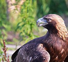 Golden eagle by Robert Kelch, M.D.