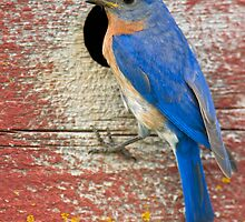 Male Bluebird by Daniel  Parent