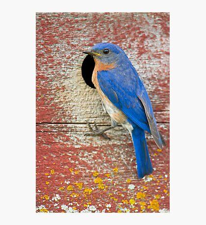 Male Bluebird Photographic Print