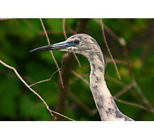 Immature little blue heron-blue and white phase Photographic Print