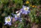 Colorado Columbine, (state flower) by rjcolby