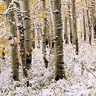 Aspen Grove In Early Winter Snow by David Kocherhans