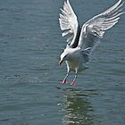Seagull landing on water in Stevenston Harbour. by Aler
