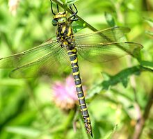 Golden-ringed Dragonfly by Jamie  Green