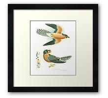 Fan-tailed cuckoo Framed Print