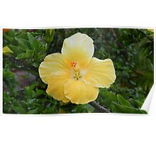Yellow hibiscus flower Poster