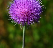 Simple Texas Thistle by Colleen Drew