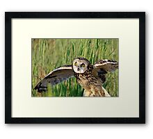 Short-eared owl with wings spread Framed Print