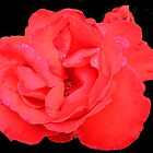Red, Red  Rose by sarnia2