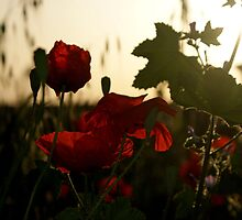 Poppies in the morning by Phil Connor