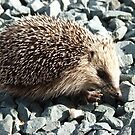 A young European Hedgehog by capney