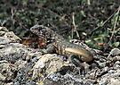 Lizard at las Cuevas, Trinidad, Cuba by David Carton