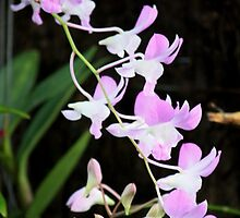 Orchid by Indrani Ghose