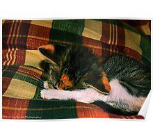 Calico Kitten Nap Poster