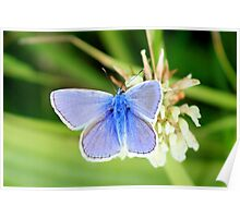 Common blue - Polyommatus icarus Poster
