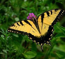 Tiger Swallowtail 2 by Brent McMurry