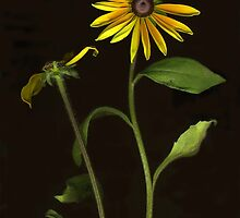 Black-Eyed Susans ~ Two by Barbara Wyeth